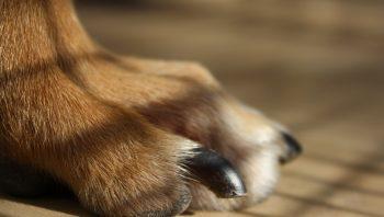 Como parar de sangrar a unha de cachorro