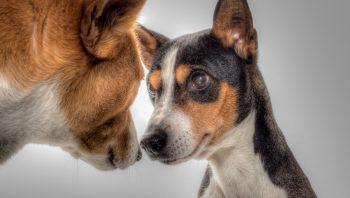 Como evitar que os cachorros cruzem quando a cadela está no cio
