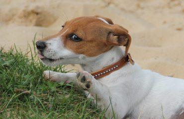 Sintomas de pata quebrada em cachorro