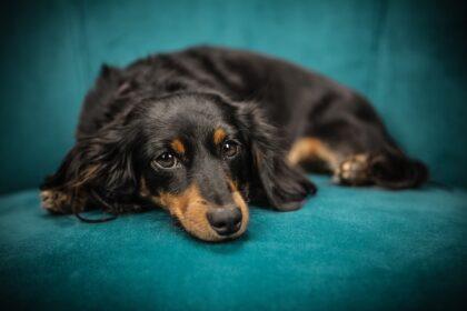 fazer o cachorro parar de subir no sofá