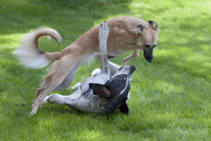 Quanto tempo cachorros ficam grudados depois de cruzar?