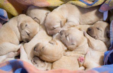 10 Sinais do início de parto de uma cadela grávida