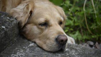 Cão com ferida nos testículos