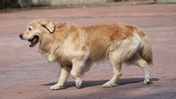 Pata quebrada de cachorro pode voltar ao normal?