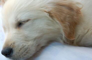 Como fazer filhote de cachorro dormir à noite