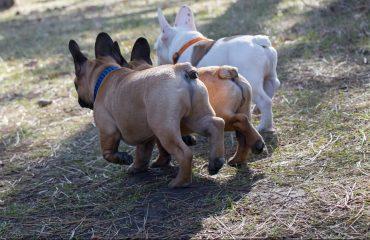 Cachorro mancando da pata traseira, o que pode ser?