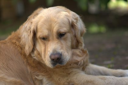 Cachorro com barriga inchada e dura