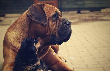 Como induzir o parto da cadela